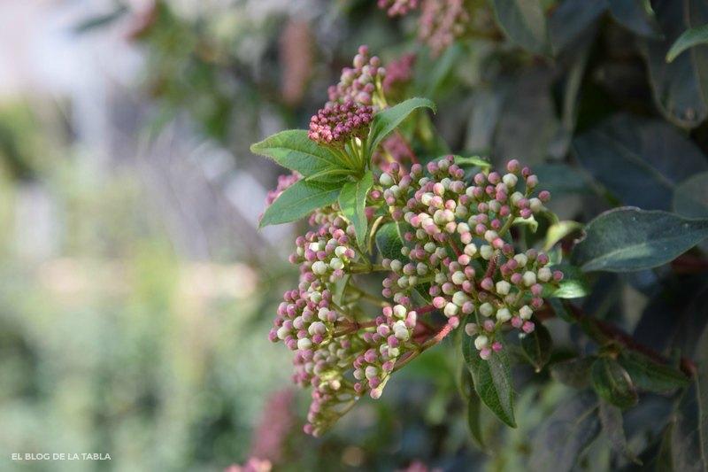 Viburnum tinus (durillo) plantas mediterraneas jardin bajo mantenimiento
