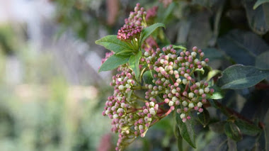 Plantas mediterráneas para jardines de bajo mantenimiento: Viburnum tinus (Durillo)