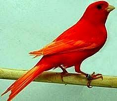 Kenari merah 2