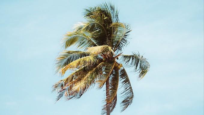 Foto Grátis Árvore Coqueiro Palmeira