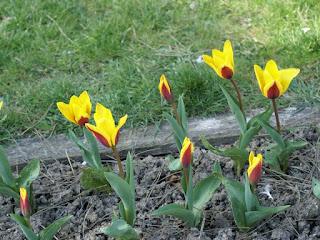 Tulipa kaufmanniana 'Giuseppe Verdi' - Tulipe Giuseppe Verdi - Tulipe de Kaufmann