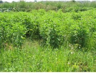 O legumă pe nedrept uitată: topinamburul