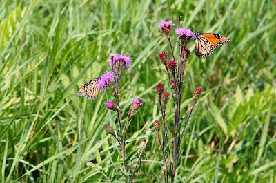 monarch butterflies on Northern Plains  Blazing-star