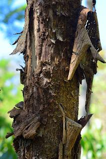 layers peel off dead tree