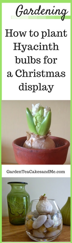 planting hyacinths for christmas make your own hyacinth vase