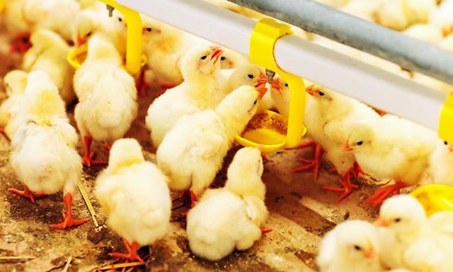 La colistina no podrá ser empleada en animales