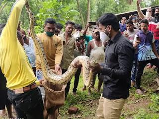 मोहनगाम से 12 फुट का अजगर पकड़ा गया। - Vapi Media News