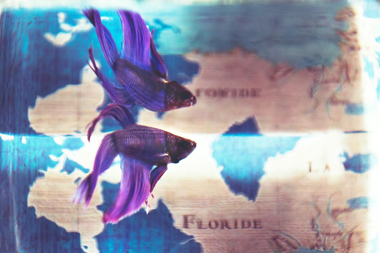 close-up-photo-of-purple-betta-fish-images