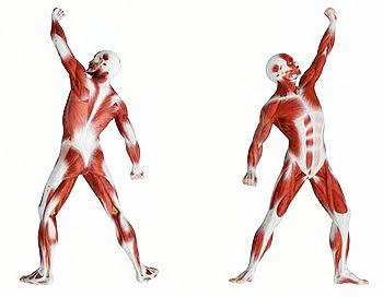 كم عدد عضلات جسم الانسان وما هي أنواع عضلات جسم الإنسان ومكونات الجهاز العضلي 3