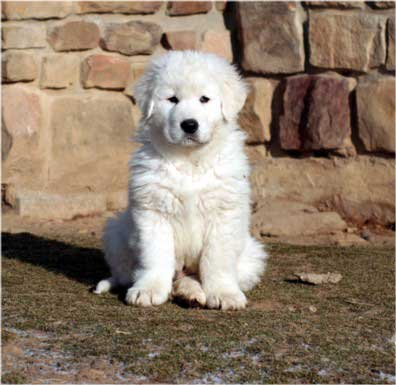 maremma puppies follow the piper fairy penguins and maremma sheepdogs 761