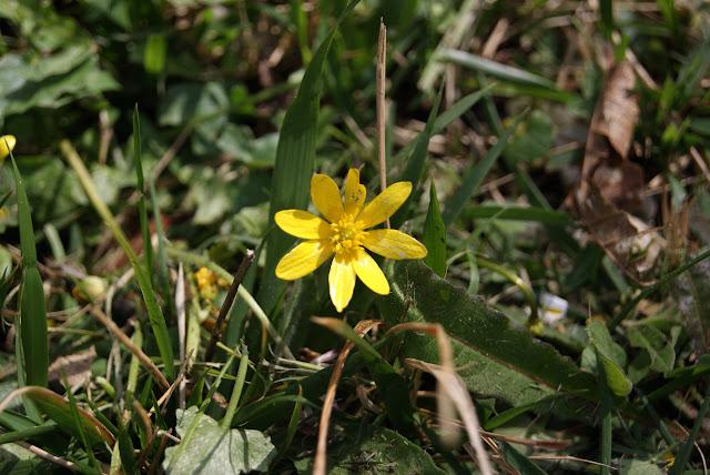 Ranunculus ficaria, Celidonia menor o Ficaria verna.
