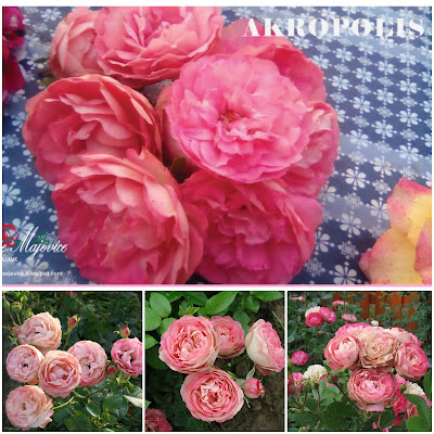 Sadnice ruža, rasadnik ruža Ruže Majevice, roze floribunda Akropolis