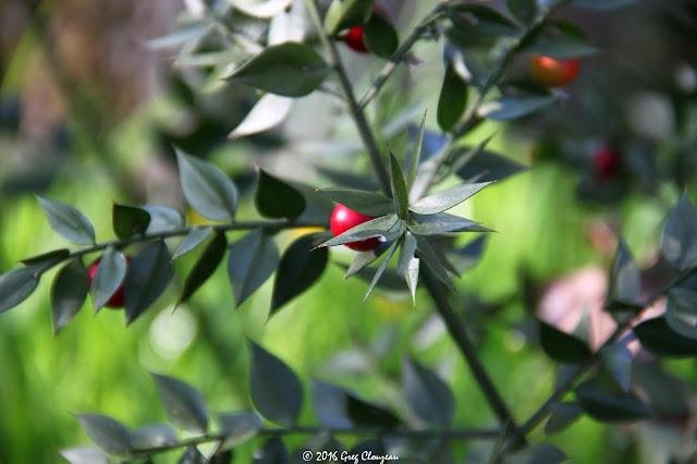 Fragon (Ruscus aculeatus) Fontainebleau