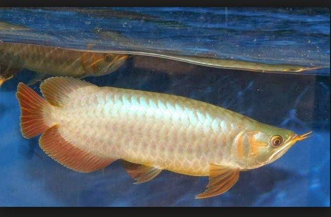 Jenis Jenis ikan Arwana