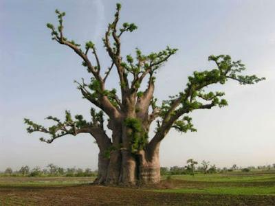 Harga Pohon Kaki Gajah Baobab