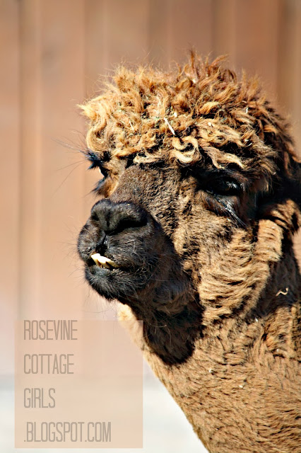 Alpaca by Rosevine Cottage Girls