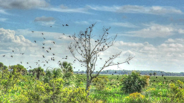 Red Winged Blackbird and Grackle Flocks
