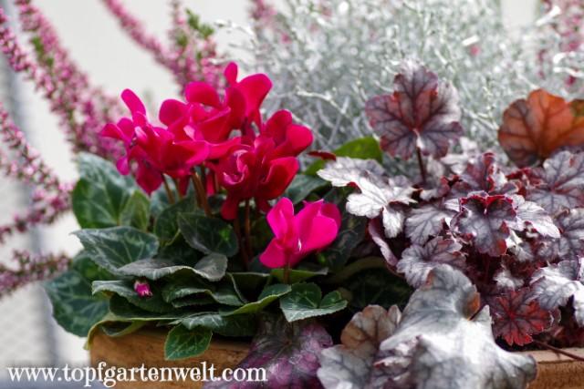 typische Herbstpflanzen für einen Blumentopf - Gartenblog Topfgartenwelt