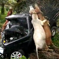 Honda CRV 'Kepala Puskesmas Teunom' Tabrak Pick Up di Aceh Jaya, Tiga Sapi Qurban Tewas  Ditempat