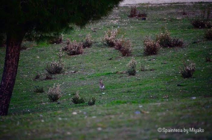 マドリードの野原で走る野うさぎ