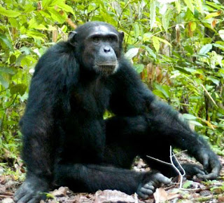 - 3 Days Kibale Forest - Chimp trekking  Mini - Safaris - Lifetime Experience Safaris,3 days kibale national park , kibale national park map, kibale national park accommodation, kibale national park chimpanzee tracking,