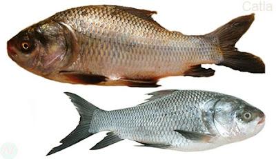 Catla fish, কাতল, কাতলা মাছ