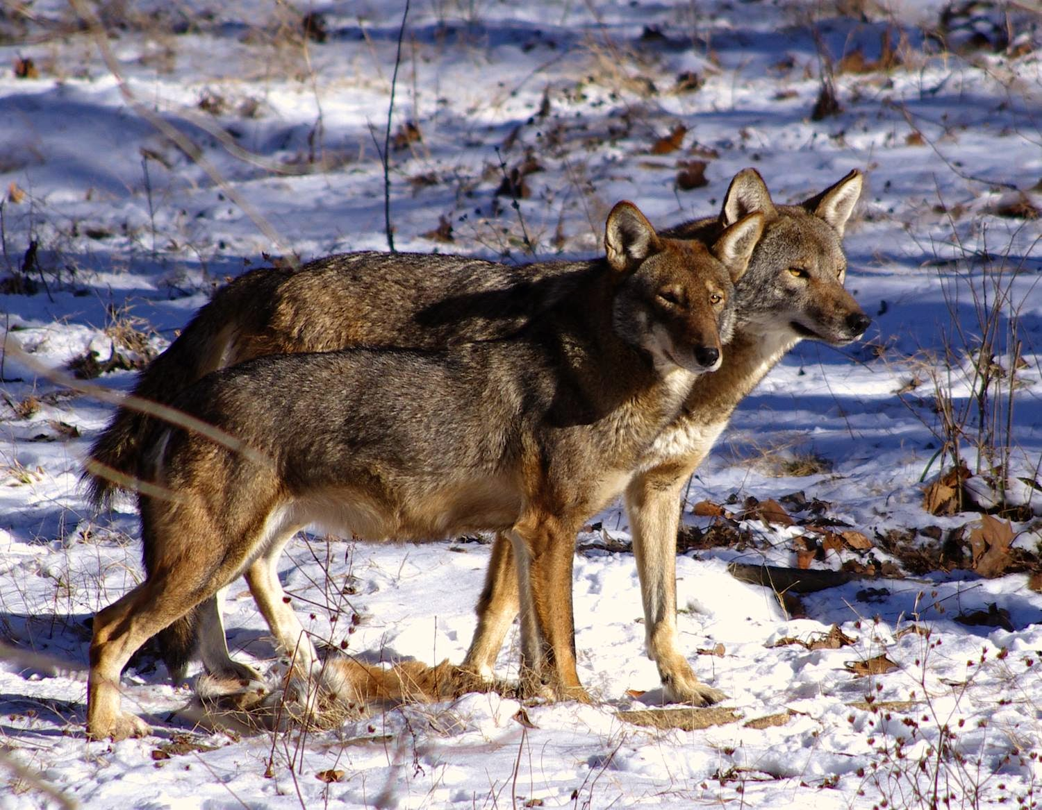 Wolves: RETURN OF THE RED WOLF: RWSSP Of The Month—Endangered Wolf