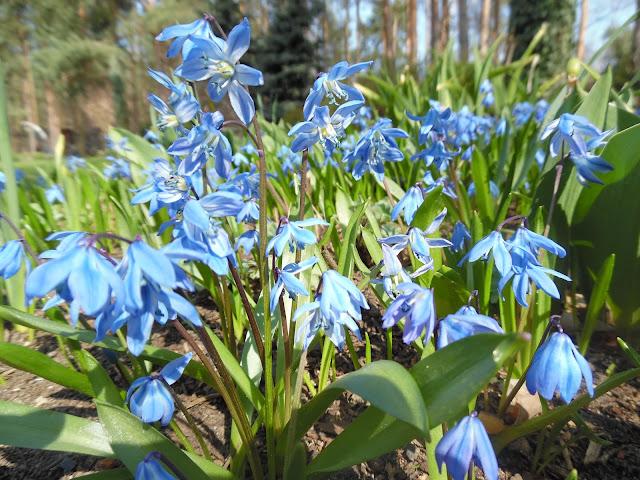 wiosenne kwiaty, niebieskie
