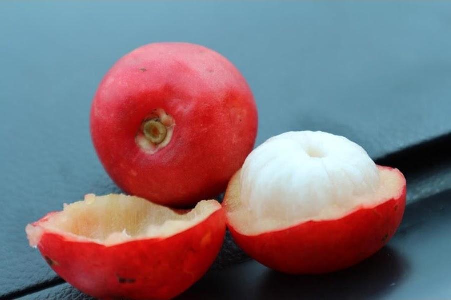 bibit manggis merah bibit buah tanaman Sumatra Barat