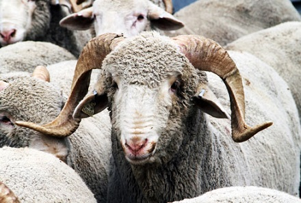 Mengenal Jenis Jenis Domba Yang Ada Di Dunia Ilmu Peternakan Dan