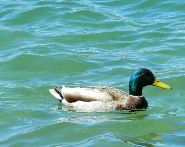 duck pond in Utah: growcreative