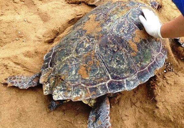Θλιβερό ρεκόρ: Πάνω από 700 νεκρές θαλάσσιες χελώνες το 2020 στη χώρα μας (vid)