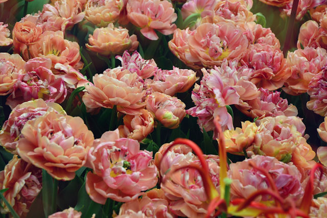 Copper image pełny tulipan zielona metamorfoza keukenhoff