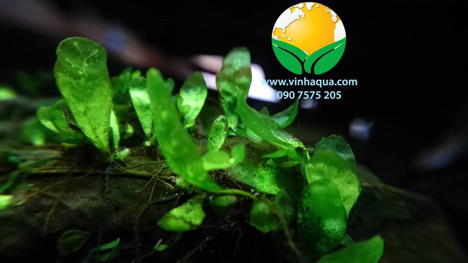 Phụ kiện thủy sinh - cây dương xỉ lá muỗng
