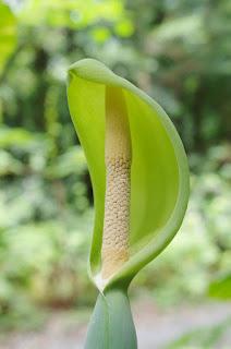 クワズイモ 屋久島の植物