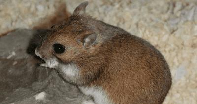 10 Jenis Hamster dan harganya | Jinak & Lucu untuk Dipelihara