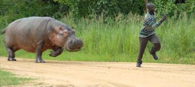 hippo chasing man