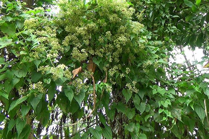 Dlium Bitter vine (Mikania micrantha)