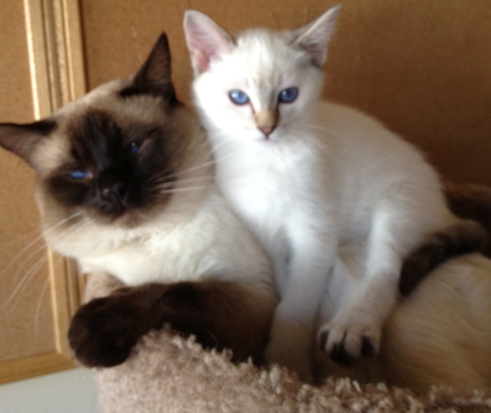 Sold Adorable Seal Point Balinese/Siamese male | Baliwest