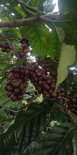 Pohon kopi robusta di kebun rakyat Tanggamus