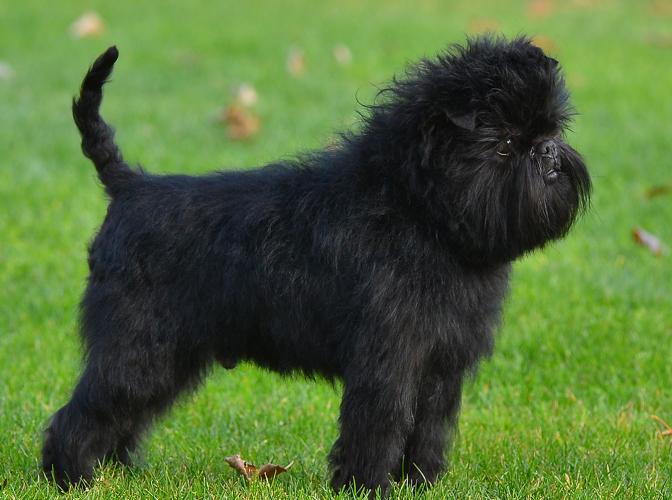 Affenpinscher Dog   Fu...