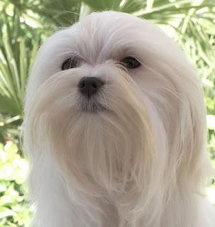 La caida de pelo en el perro