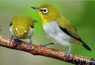 Cara Membentuk Karakter Suara Burung Pleci