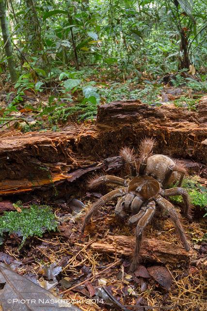 Foto de uma aranha gigante