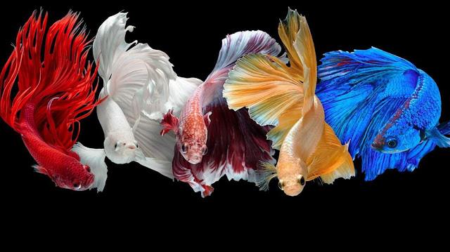 Jenis-Jenis Ikan Cupang Lengkap Beserta Gambar