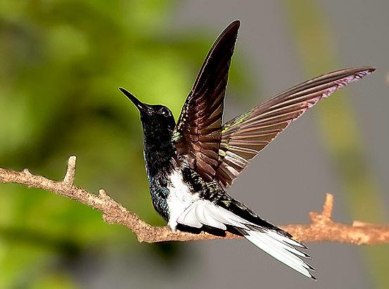 O contraste de sua plumagem se mostra quando o pássaro abre a cauda em um leque branco, cortado em duas metades pelas centrais negras. Ou quando abre e fecha rápido as caudais.  O branco da cauda continua até a base da asa, formando uma faixa lateral.
