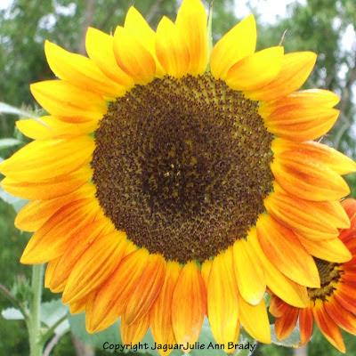 Pretty Warm Yellow to Yellow-Orange Sunflower Blossom