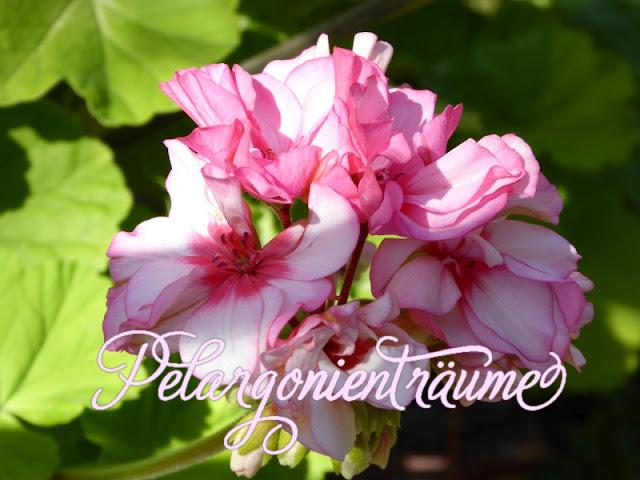 außergewöhnliche-Pelargonie-Pelargonienträume