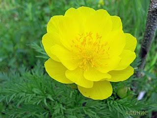 Цветок имени Людмила горицвет