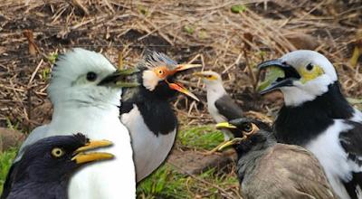 Dengar Dan Download Suara Masteran Favorit Burung Juara